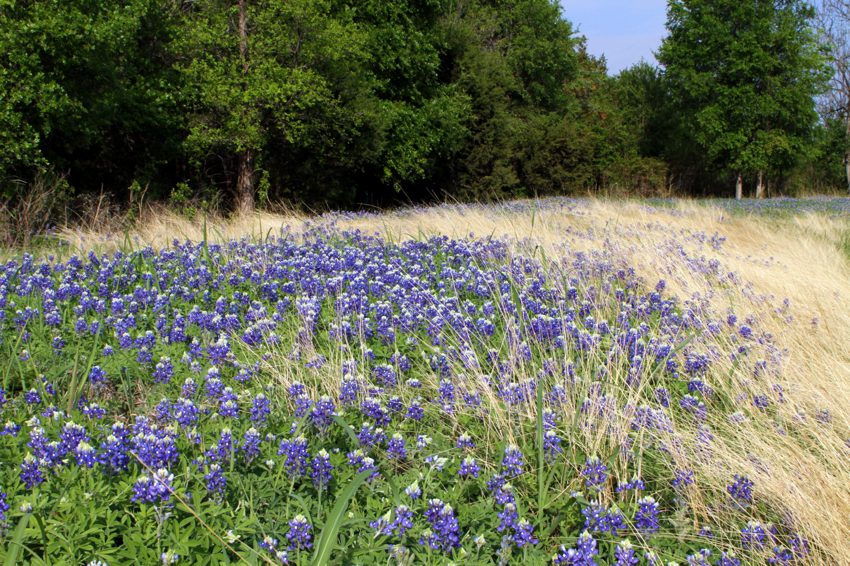 Menger Cottages - Texas Hill Country Bluebonnets